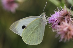 Large White (Pieris brassicae) 170718 (Richard Collier - Wildlife and Travel Photography) Tags: wildlife naturalhistory nature insects butterflies brit largewhite pierisbrassicae macro close up