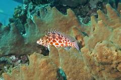 Cirrhitichthys oxycephalus. Пятнистый кудрепер (atardecer2018) Tags: дайвинг бали 2017 diving scubadiving bali underwater