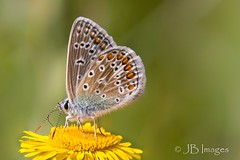 Common Blue (J.B.Images) Tags: amazingnature beautiful butterflies butterfly canon clear closeup canoneos6d countryside detail detailed delicate eos explore england focus gardens interesting image is jbimages lumix marlborough macro nikon nature natural pretty royalwoottonbassett swindon usm fuji wiltshire woodlands xl explored young zoom zoomed