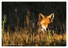 Watching me watch him (awardphotography73) Tags: orange peaceful wales cardiff forestfarm lightandshade sunlight britain animals wildlife summer sun light fox