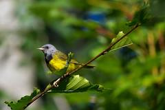 Mourning Warbler (Kremlken) Tags: warblers pennsylvania birds birding stateforests summerresidents nikon500