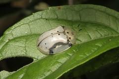 Coleoptera, Chrysomelidae, Cassidinae, Aspidimorpha sp. (Tortoise Beetle) - Kibale Uganda (Nick Dean1) Tags: coleoptera polyphaga chrysomelidae cassidinae beetle tortoisebeetle kibalenationalpark kibale uganda
