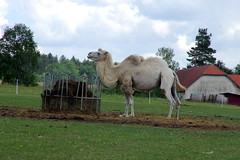 26.7.18 Chynov and camels 18 (donald judge) Tags: czechia south bohemia toulava chynov zahostice camels
