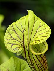 Veined (pjpink) Tags: pitcherplant gardens lewisginterbotanicalgardens lewisginter lewisginterbotanicalgarden northside rva richmond virginia june 2018 summer pjpink 2catswithcameras