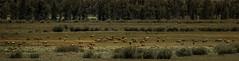 Elk, Jackson Hole Valley (Zsolt. Szabo) Tags: wyoming unitedstates us jackson hole is name valley between teton mountain range gros ventre sitting near border idaho elk jacksonholevalley