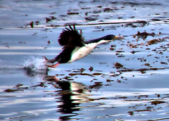 Bird taking off from sea in Beagle Channel in Patagonia in Argentina (Jill Rowland) Tags: sea travel patagonia argentina chile southamerica tour tourist tourism outdoors hiking mountain wildlife penguins birds lake water reflection glacier scenery landscape nature naturalbeauty natural canon canonphotography canonaddicts canonphoto canonphotos meadow beaglechannel
