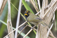 Yellow-faced Grassquit (Tiaris olivaceus) (Frank Shufelt) Tags: yellowfacedgrassquit tiarisolivaceus thraupidae finch tanager male seedeaters passeriformes songbirds aves birds nature wildlife urban suburban rural mountains ensueño circasia quindío colombia southamerica march2018 20180304 0523 elensueño