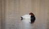 Pochard, Tafeleend (Paul van Agthoven) Tags: birds explore nature canon zoom holland bokeh dof birding