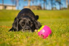DSC_0037 (Daniel Maclachlan) Tags: labrador crossbreed ball play grass footbal pitch black dog collie