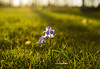 Flowers (Matt Champlin) Tags: spring springtime flowers glory snow green lush light beautiful earth growing growth life nature sun warmth canon 2018 home skaneateles