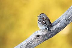 """American tree sparrow / Bruant hudsonien "" (ricketdi) Tags: bird bruanthudsonien spizelloidesarborea americantreesparrow coth coth5 sunrays5 ngc npc"