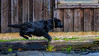 DSCF6165 (bc-schulte) Tags: labrador wasser water schwarz black spielen schwimmen hund dog tier