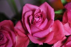DSC_9144 (PeaTJay) Tags: nikond750 sigma reading lowerearley berkshire macro micro closeups gardens indoors nature flora fauna plants flowers bouquet rose roses rosebuds