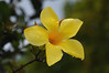 Allamanda jaune (jesuisjeff) Tags: guadeloupe gwada basseterre antilles allamanda flore fleur