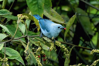 BLUE-GRAY TANAGER 1