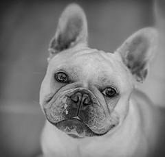 Someone wants a Fuss  (Albi The Cute French Bulldog) (Monochrome) (Olympus OM-D EM1-II & Panasonic-Leica 42.5mm Prime) (markdbaynham) Tags: pet canine dog bulldog frenchbulldog albi cute portrait olympus omd em1 em1ii em1mk2 csc mirrorless micro43 microfourthird microfourthirds mft m43 evil 425mm prime primelens panasonicleica leicadg nocticron m43rd micro43rd olympusomd olympusmft smalldog smallcanine