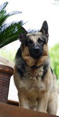 EL GUARDIÀ (Joan Biarnés) Tags: miànigues gos perro guardià guardián retrat retrato pladelestany porqueres 262 panasonicfz1000