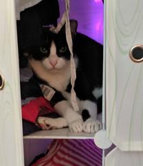 Saturday Colours - Milo got an UPC Code (Pushapoze (NMP)) Tags: milo cat chat gatto pisica upccode carpet tuxedocat