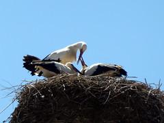 Storchennest (Proteus_XYZ) Tags: deutschland germany bayern bavaria donauwörth störche storks