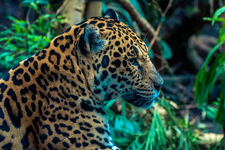 Male Jaguar relaxing
