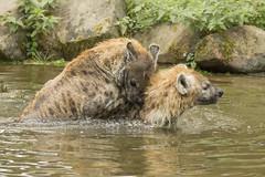 Gevlekte Hyena - Safaripark Beekse Bergen - Hilvarenbeek (Jan de Neijs Photography) Tags: dierentuin zoo tamron tamron150600 150600 dierenpark nl holland thenetherlands dieniederlande utrecht diergaarde g2 animal dier beeksebergen safaripark safariparkbeeksebergen hilvarenbeek sbb gevlektehyena hyena
