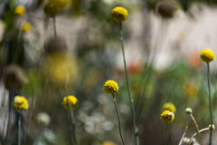 billy buttons (Greg Rohan) Tags: depthoffield blur brown yellow billybuttons flowers flower garden d750 2018 nikon nikkor macro dof