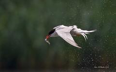 Catch, spin, dry... (Explored #28) (Alan McCluskie) Tags: commontern sternahirundo terns seaswallow gulls birds aves oiseaux lake birdfeeding birdinflight canon7dmk2 sigma150600mmsp coatewater swindon explored explore inexplore