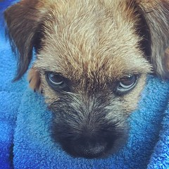 Sultry 😍 (sarahgraham7) Tags: puppydogeyes face dogs terrier puppies eyes puppyeyes borderterrier dog puppy