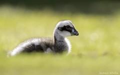 Cape Barren Gosling (Jims Wildlife) Tags: capebarrengoose gosling bird australia goose cereopsisnovaehollandiae