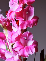 DSC_0717 Gladioli (PeaTJay) Tags: nikond750 sigma reading lowerearley berkshire macro micro closeups gardens indoors nature flora fauna plants flowers gladioli