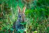 Peter Rabbit (adrianaaprati) Tags: rabbit bunny summer august meadow grass park