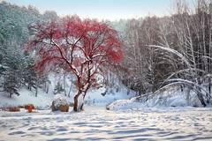 The winter has blossomed (Alexander Tumashov) Tags: birch pine russia appletree forest green landscape light red river rock snow tourism tree white winter