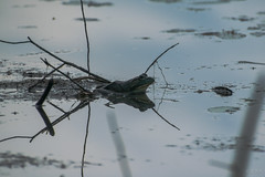 Reflecting wetland (era.ph) Tags: animals big natural love summer nature muskoka gravenhurst neverstopexploring nikond5300 shotz instagram forest amphibian frog toad green american north america search encounter