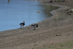 Barnacle Geese (Common Buzzard) Tags: waltononthenaze essex essexwildlifetrust ewt birds waterfowl geese barnaclegeese