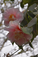 Visita al Papá_JCV4887 (DelRoble_Caleu) Tags: camelia flores flor delroblecaleu julio carrasco valenzuela santiago chile región metropolitana