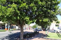 Tuckeroo (Cupaniopsis anacardioides) (Poytr) Tags: tuckeroo cupaniopsisanacardioides cupaniopsis sapindaceae tree streettree arfp nswrfp qrfp gerringong nsw arfstreettree plantedtree illawarra littoralarfp