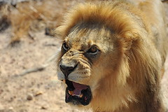 Angry lion (meren34) Tags: cats lion wild animal africa angry