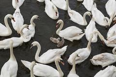 Worcester swans (Spannarama) Tags: worcester uk river riversevern swans lookingdown