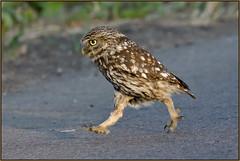 Little Owl (Full Moon Images) Tags: wildlife nature bird birdofprey little owl running cambridgeshire fens