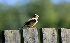 Ruffled look (mootzie) Tags: bird nature wildlife yellowhammer garden breeze ruffled scotland feathersyellow aberdeenshire