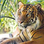 Tiger at the Zoo of San Diego thumbnail