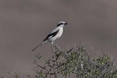 Grey Shrike (Sgjyk) Tags: grey shrike isabelline gobi desert yol valley mongolia