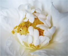A Close Family (Mary Faith.) Tags: centre camellia white stamen