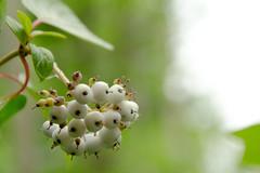 Berries (Rackelh) Tags: berries macro green marsh park mississauga canada nature plant
