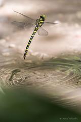 Cordulegaster boltonii-Cordulégastre annelé (PatNik01) Tags: france bugey cordulegasterboltonii cordulégastreannelé eau libellule nikon