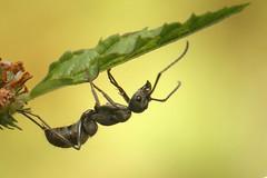 Ant (Tharanga Aluthwattha) Tags: ant canon 6d 100mm 200mm kenko 2x