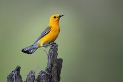 Prothonotary Warbler (Greg Lavaty Photography) Tags: prothonotarywarbler protonotariacitrea texas june brazosbend statepark ftbendcounty birdphotography outdoors bird nature wildlife