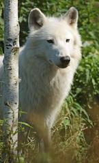 hudsonbay wolf Hoenderdaell JN6A7160 (j.a.kok) Tags: wolf wolfpup wittewolf whitewolf hudsonbaywolf canislupushudsonicus canine hoenderdaell hoenderdael animal canada amerika america mammal zoogdier dier predator