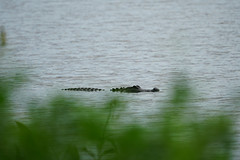 DSC01407.jpg (joe.spandrusyszyn) Tags: lakeland unitedstatesofamerica americanalligator florida animal crocodilia nature byjoespandrusyszyn circlebbarreserve polkcounty alligatormississippiensis reptile vertebrate alligatoridae alligator