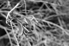 Each Leaf a World (macromary) Tags: leicaflexsl leica leitz leicaflex slr primelens vintage camera manual film bw blackandwhite florida nature rodinal macro 60mm elmarit monotone palmbeachcounty naturepreserve kentmere kentmerefilm kentmere100 60mmelmarit macrolens johnprincememorialpark bokeh leaf leaves dof depthoffield